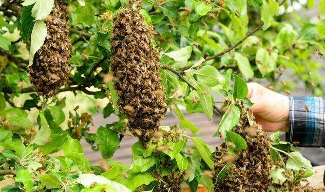 中蜂自然分蜂是什么时候(中蜂几月份自然分蜂)