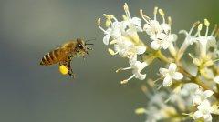 蜜蜂是靠什么回到自己的家(蜜蜂为什么在哪里都可以找到家)