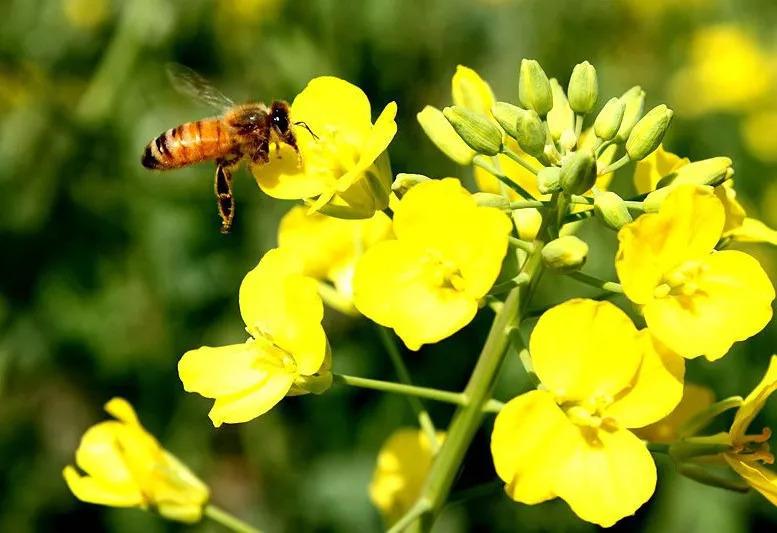 中华蜜蜂有哪些优点和缺点(中华蜜蜂好还是意蜂好)