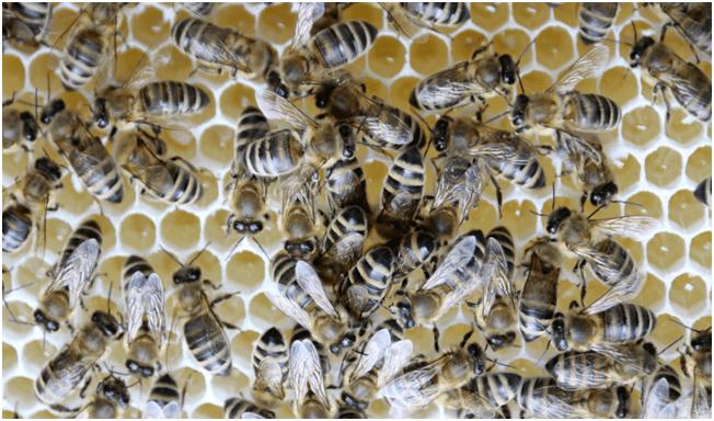 东北黑蜂是中蜂还是意蜂(东北黑蜂和中华蜜蜂的区别)