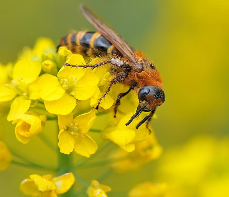 蜂王有哪些特点和作用(蜂王有什么作用)