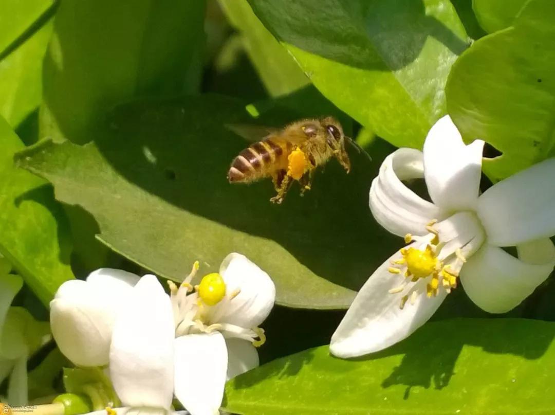 新手养蜂怎么预防蜂病(养蜂需要注意什么问题)