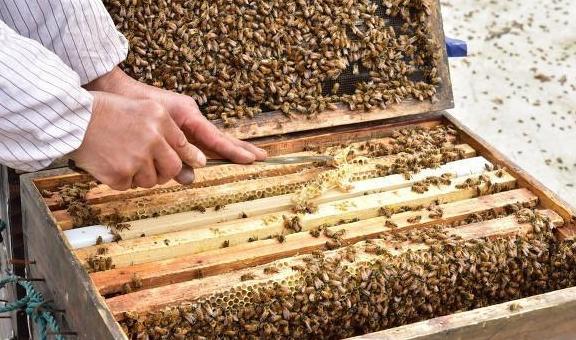 新手养蜂怎么治蜂螨(怎样治蜂螨效果好)