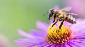 大蜂螨的特点与防治方法(大蜂螨怎么治效果最好)