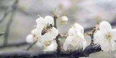 蜜蜂春繁管理技术(春繁蜜蜂应注意什么)
