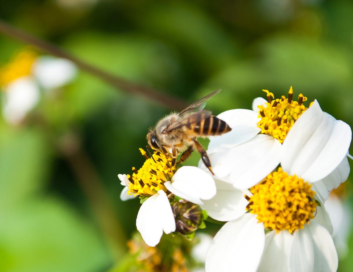 蜜蜂常见病与防治(蜜蜂常见病和常用药)