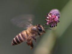 新手养蜂入门蜜蜂打架的原因(蜜蜂打架的原因及解决办法)