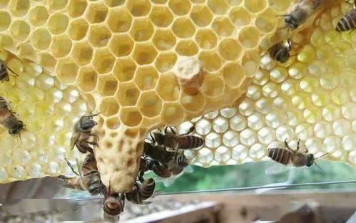新手养蜂出现王台怎么办(蜜蜂起王台怎么办)