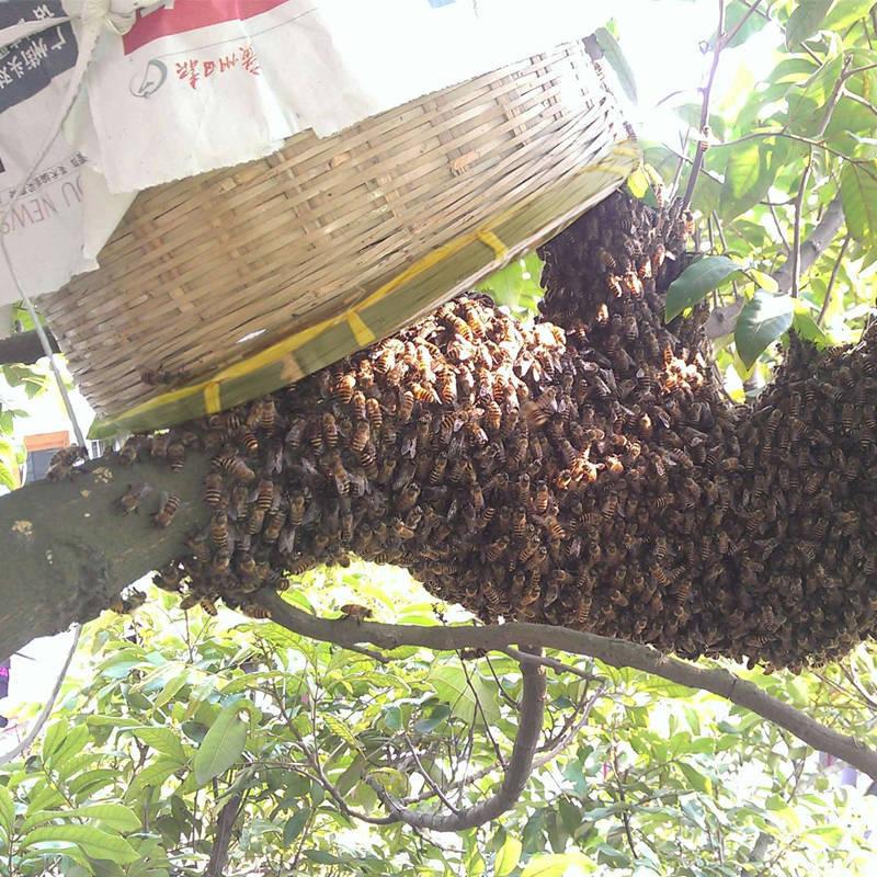 野外诱蜂技巧和方法(怎么样诱野蜂)