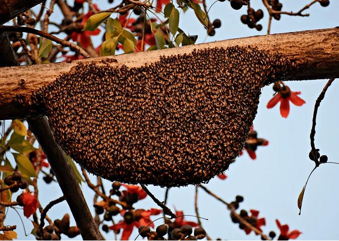 野生蜜蜂的生活环境和特点(家养蜜蜂和野生蜜蜂区别)