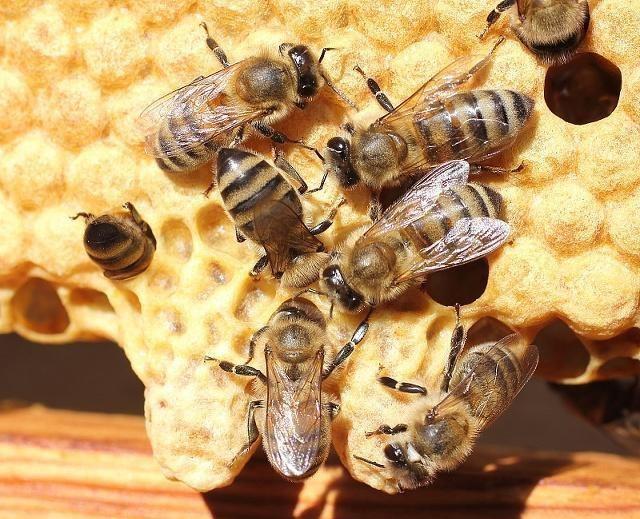 新手养蜂不会育王怎么办(新手养蜂育蜂王技术)