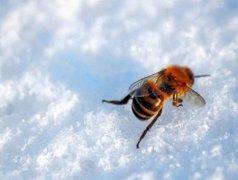 白糖喂蜜蜂的正确方法(给蜜蜂喂白糖的方法)
