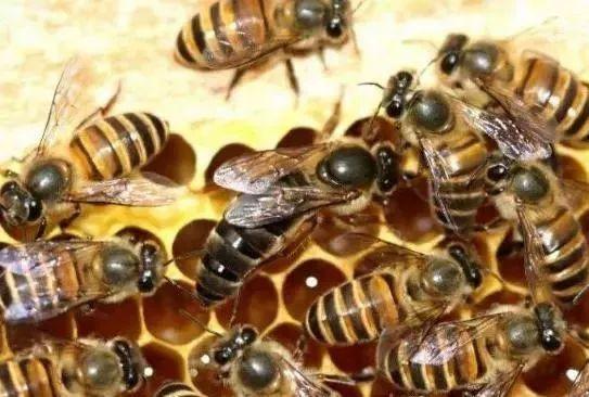 蜂王在蜂群中的作用是什么(蜂王起什么作用)