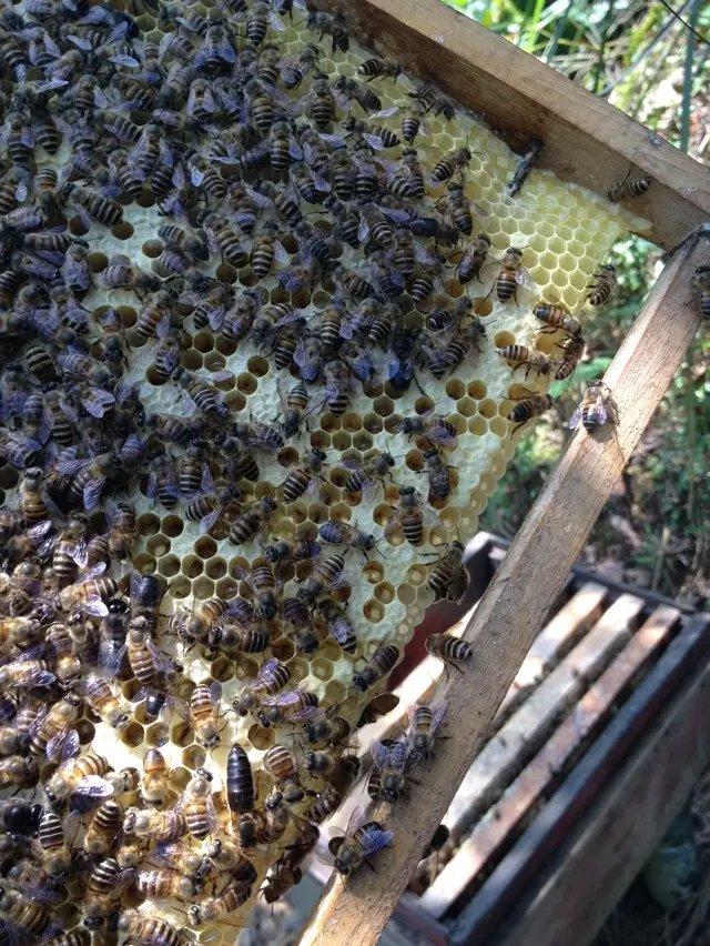 养蜜蜂跑了会怎么样(怎么样养蜜蜂才不飞走)