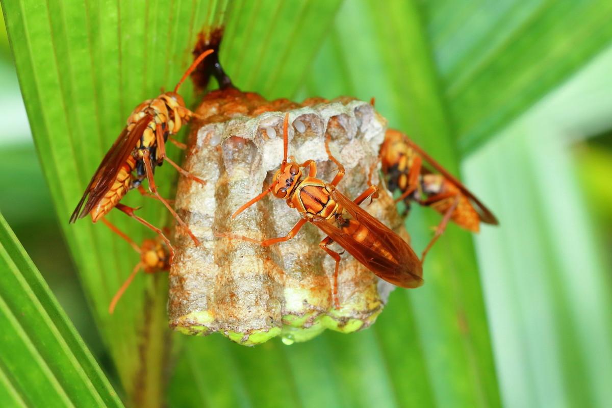 马蜂筑巢是好兆头吗(马蜂在家筑巢是凶是福)