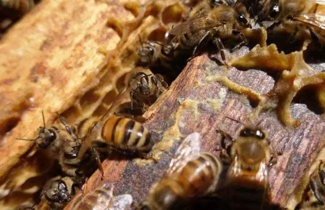 蜜蜂冬天喂到什么程度就可以不喂(蜜蜂冬天怎么过冬怎么喂)