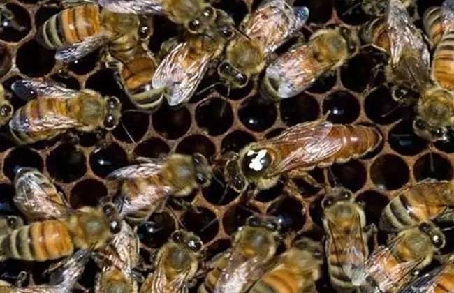 蜂王在哪些情况下会停止产卵(蜂王什么时候停止产卵)