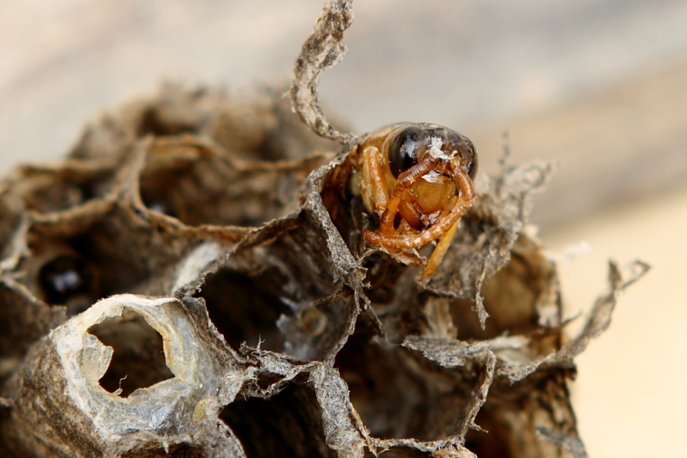 马蜂(胡蜂)如何组建双王群(胡蜂可以养双王群吗)