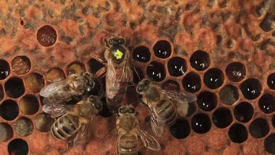蜂王出逃剪翅对蜂王有影响吗(蜂王剪了翅膀蜜蜂还会逃吗)