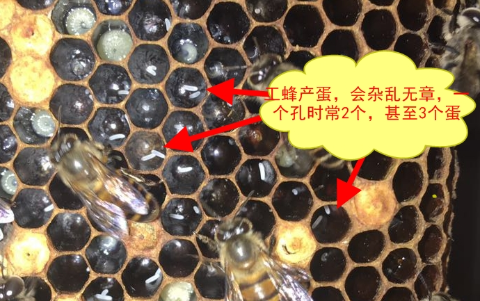 工产蜂和正常工蜂的区别(工蜂产的卵是什么蜂)