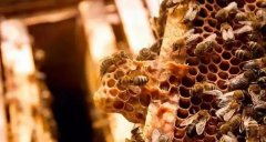 急造王台几天能出蜂王几天产卵(新蜂王从出王台到产卵需要多少天)