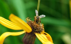 工蜂是雌蜂吗(蜜蜂的工蜂是什么性别)