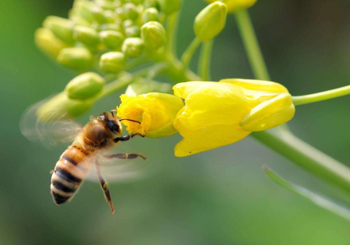 工蜂每天工作几小时(蜜蜂一天工作几小时)