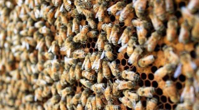 中蜂自然分蜂前征兆(中蜂分蜂前几天的征兆)