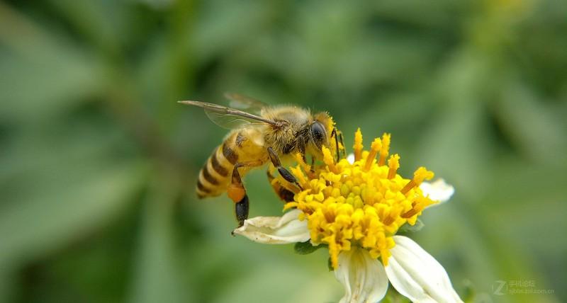 中蜂自然分蜂与收捕(中蜂分蜂技术)