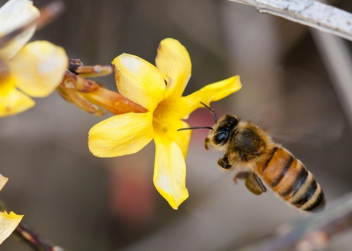 秋季工蜂的寿命有多长(工蜂能活多长时间)