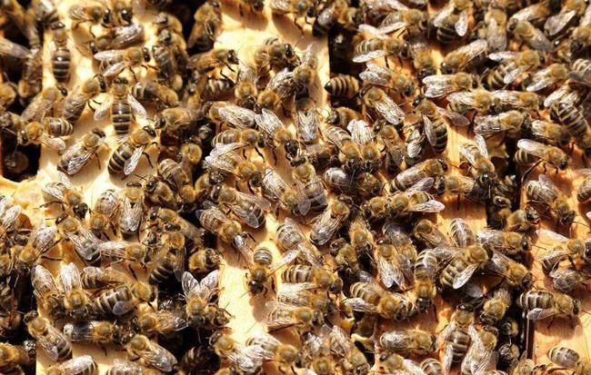 中蜂人工分蜂方法(中蜂怎样人工育王)