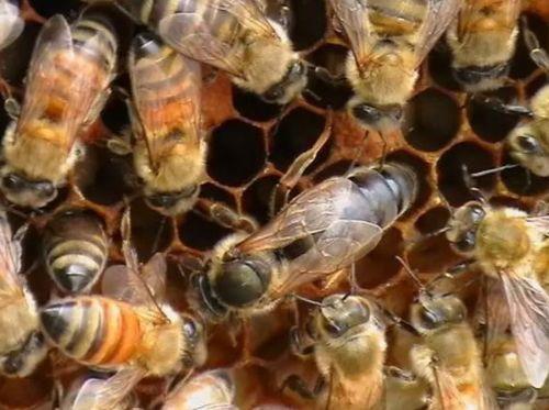 蜂王交尾不成功能产卵吗(蜂王和工蜂同时产卵怎么办)