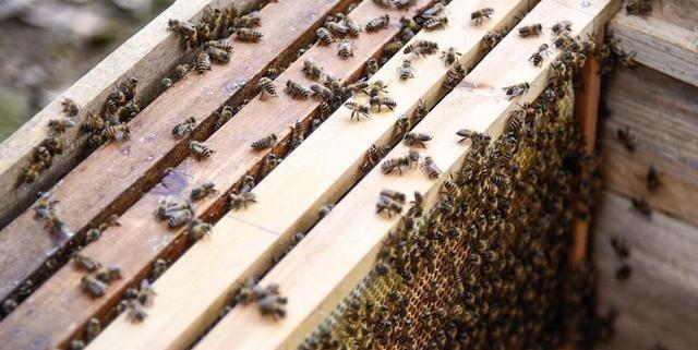 中蜂自然分蜂好还是人工分蜂好(中蜂分蜂技术)