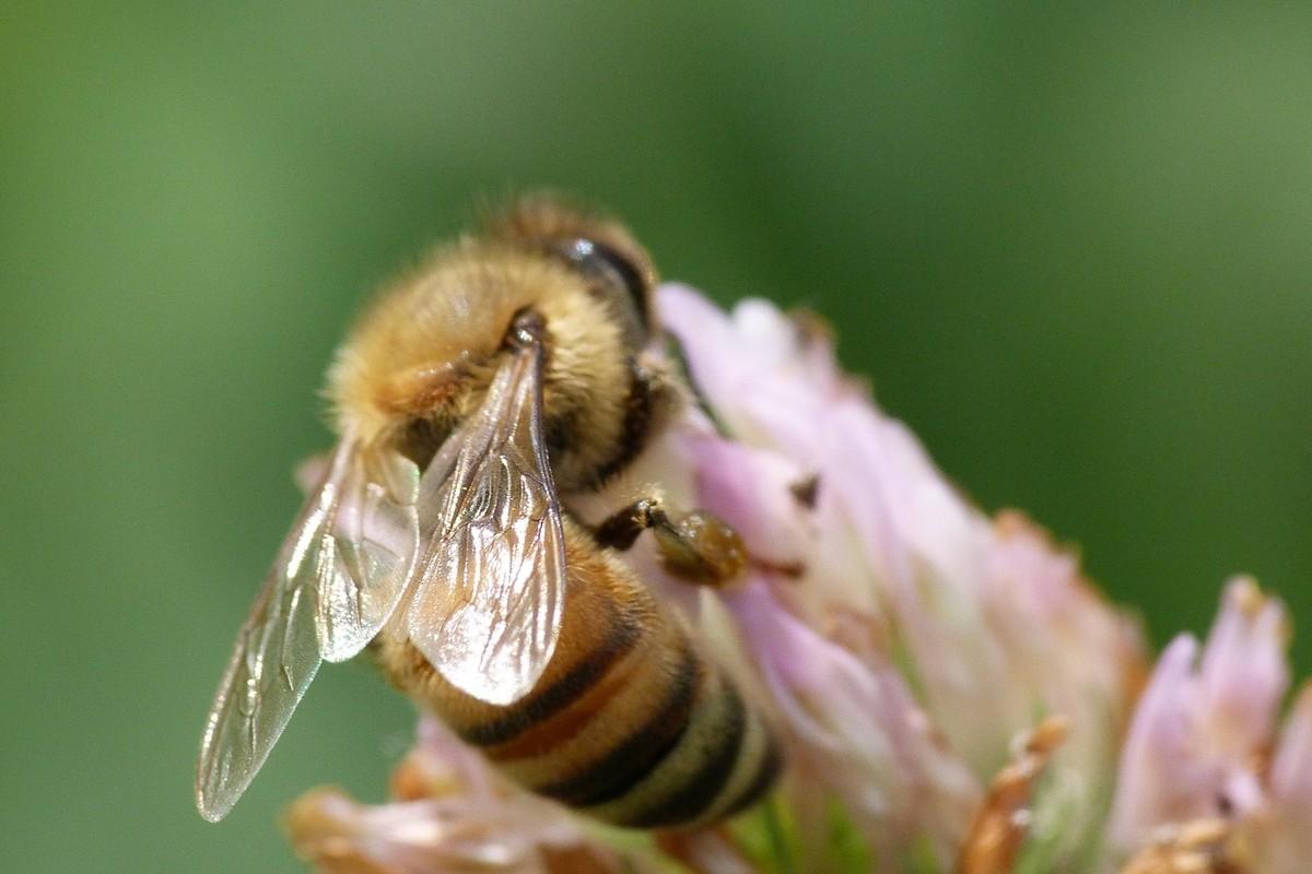 长白山中蜂的特点(长白山中蜂的优缺点)