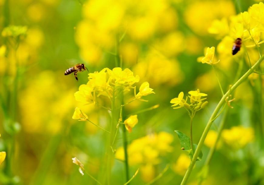 油菜蜜是最差的蜂蜜吗(油菜蜜属于几等蜜)