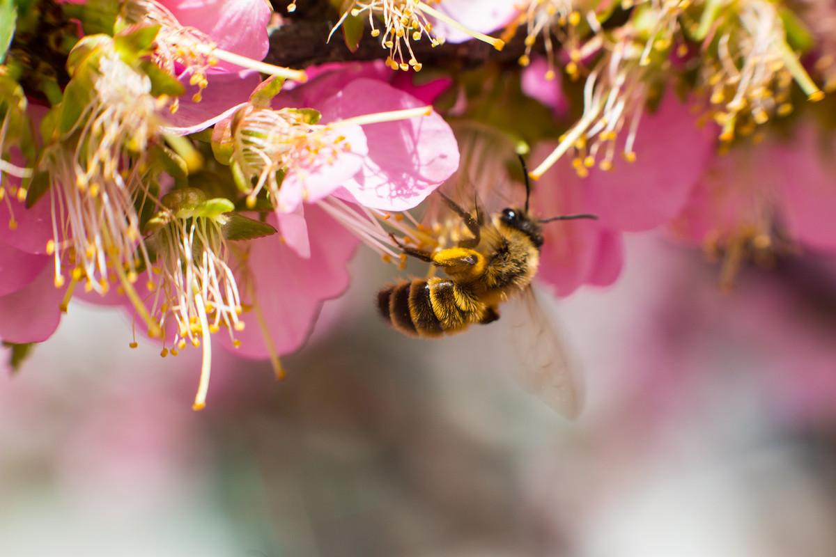 蜜蜂为什么要采蜜对花有什么好处(蜜蜂采花蜜是为了什么)