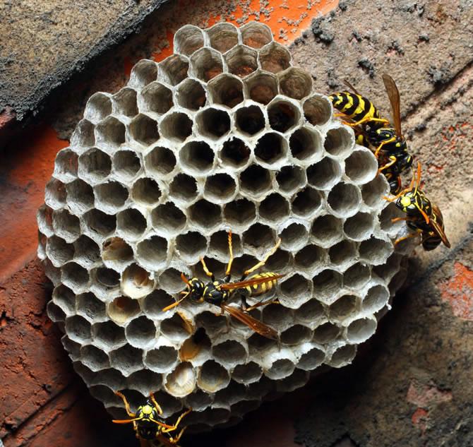 马蜂是益虫还是害虫(养蜂如何防马蜂)