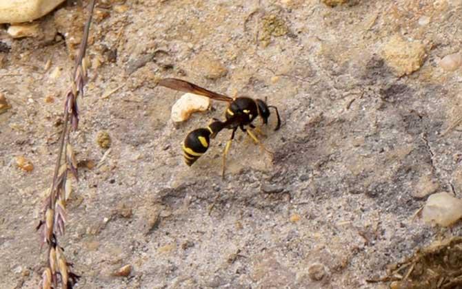 马蜂是酸性毒还是碱性毒(马蜂的毒性有多大)