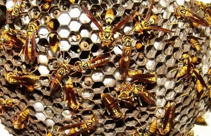 马蜂的种类有哪些(常见的马蜂种类有几种)