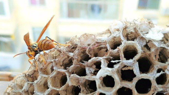 土蜂和马蜂的区别(土蜂和蜜蜂、马蜂和胡蜂有什么区别)