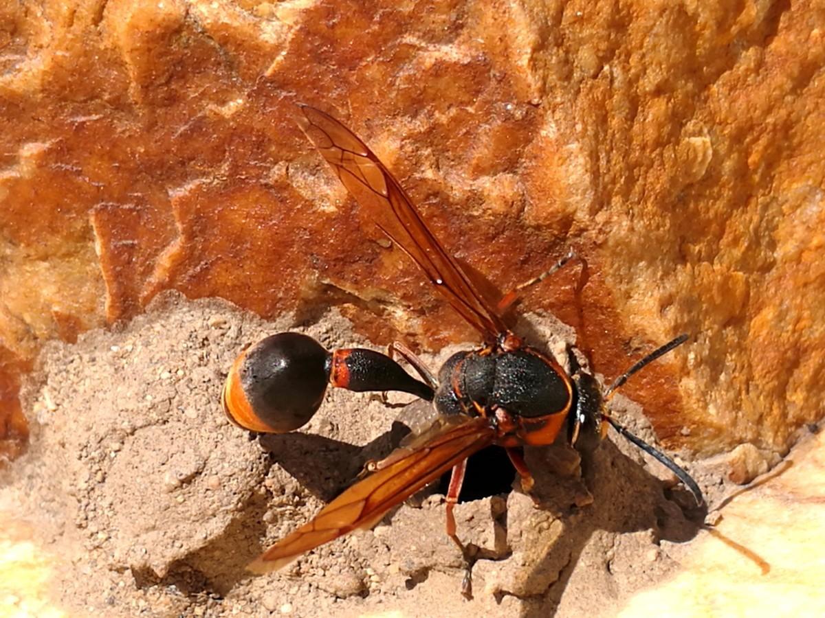 马蜂有几根毒针(马蜂毒针会滞留体内吗)
