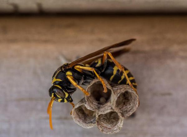 马蜂的毒性有多大(马蜂的毒性对身体有什么害处)