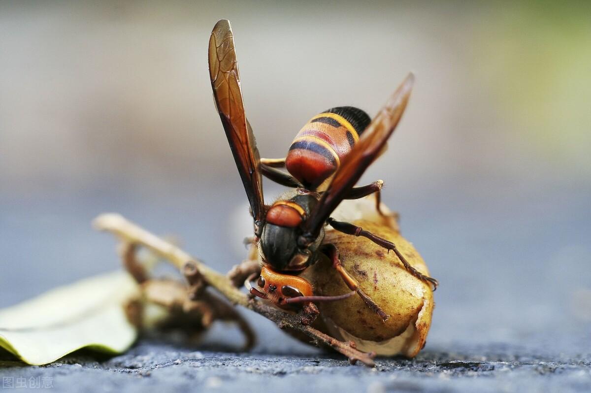 五大毒蜂有哪些(世界五大毒蜂排名)