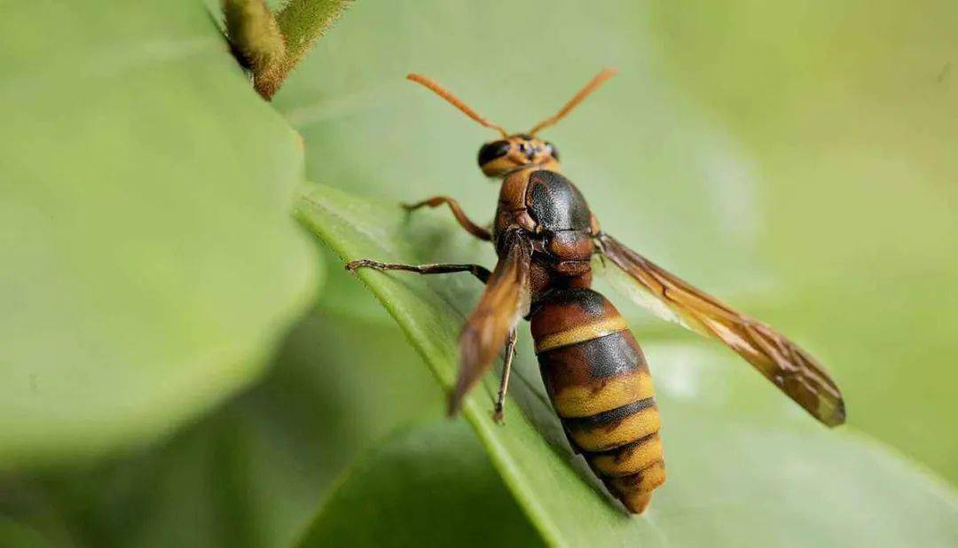 野生马蜂能抓回来养吗(野生马蜂能接回家养殖吗)