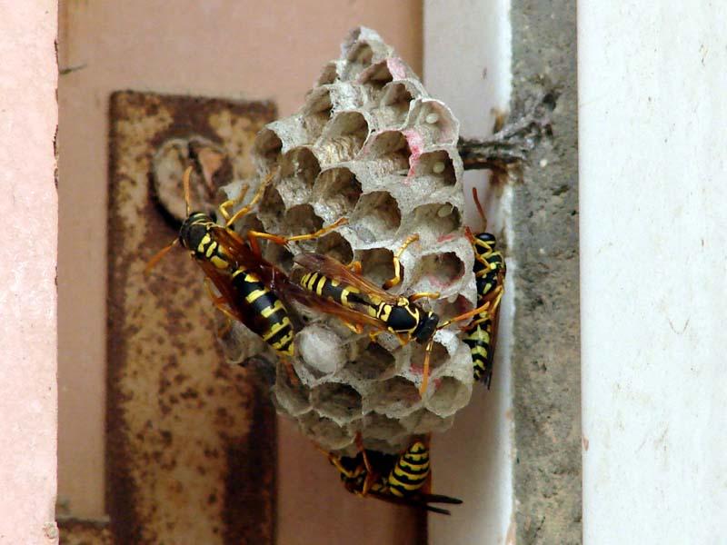 养殖马蜂应具备哪些条件(马蜂人工饲养技术)
