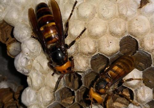 养胡蜂赚钱靠什么赚钱(胡蜂养殖利润分析)