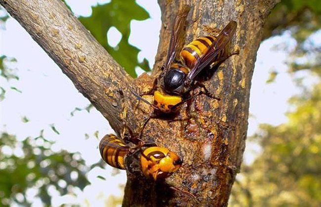怎样养殖胡蜂(胡蜂养殖技术)