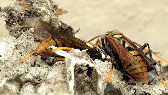 马蜂是什么毒素(马蜂的毒素是什么成分)