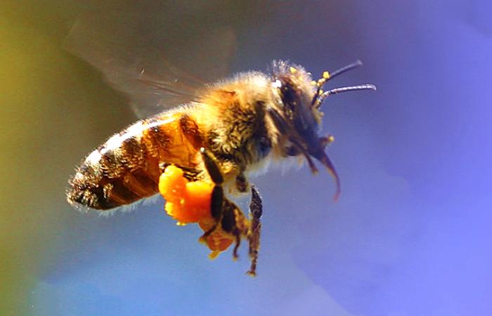 土蜂蜜和百花蜜的区别(土蜂蜜好还是百花蜜好)