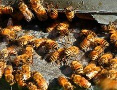 蜜蜂过冬的方式有哪些(蜜蜂如何越冬)